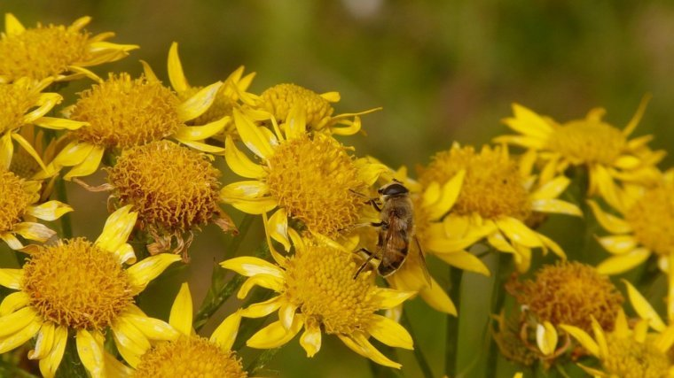 Yellow flowers with a pollinating bee